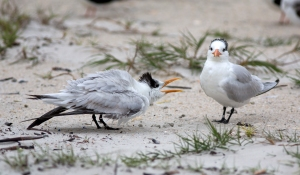 Royal Terns (male displaying to unimpressed female on right)