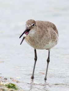 Willet Eating a Crab