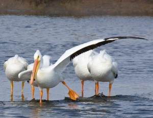 White Pelican Wing Stretch