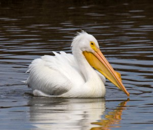 White Pelican Swimming