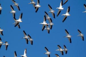 Flock of White Pelicans Soaring
