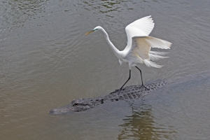 "Great Egret ""Gator Surfing""!"