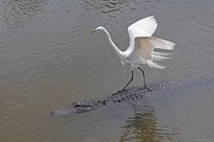 """Great Egret """"Gator Surfing""""!"""