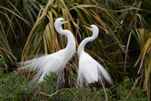 Great Egret Breeding Pair