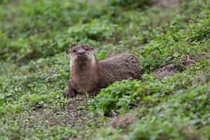 Otter in Grass