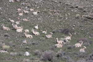 Flock of Bighorn Sheep