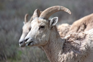 Bighorn Sheep Sticking out Tongue