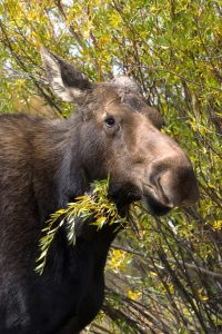 Female Moose Eating Willow Leaves