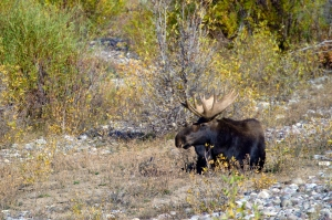 Bull Moose with Spectacular Rack