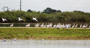 Over 50 White Pelicans!