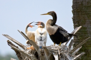 Female Anhinga with Chicks on Nest