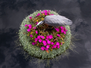 Great Blue Heron on Floating Garden