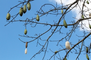 Close-up of Branches and Pods