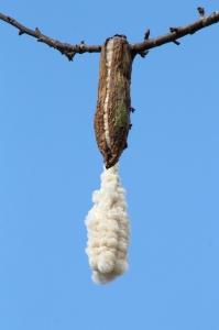 Pod Bursting Open to Reveal Silk