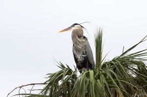 Great Blue Heron Chicks are Hatching Now