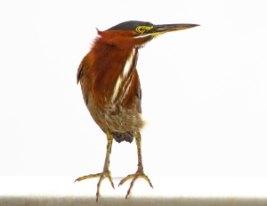 """Green Herons use Tools as """"Bait"""" to Attract Fish"""
