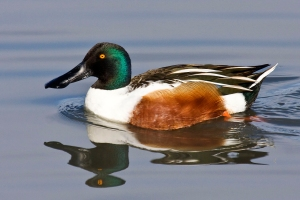 Northern Shovelers have Largest Duck Bill