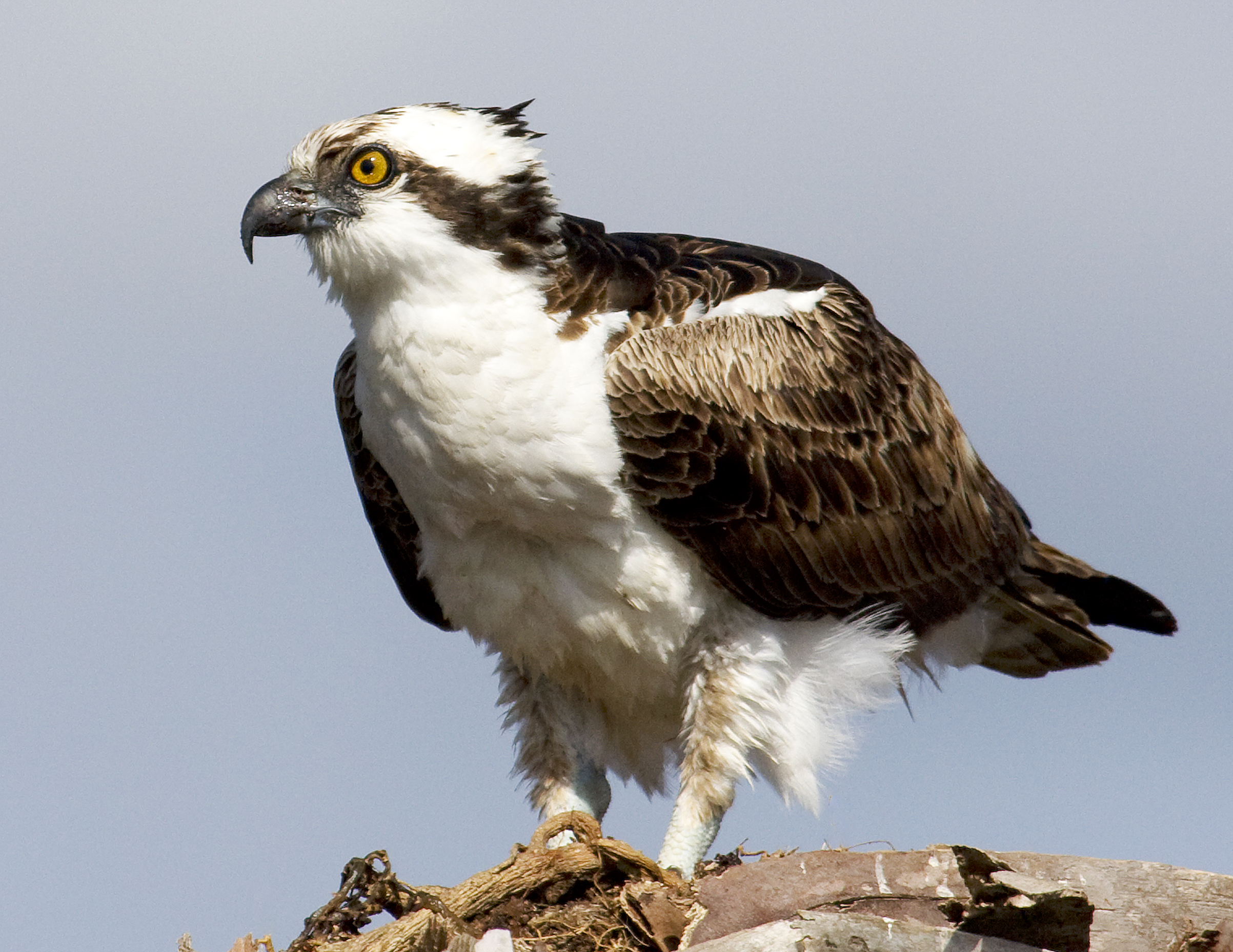 Ospreys fish hawks are nesting now naturetime for Fish hawk bird