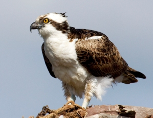 Ospreys (Fish Hawks) are Nesting Now