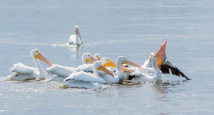 White Pelicans Fishing - One Swallowing a Carp