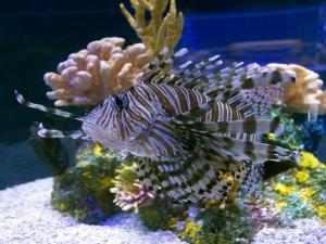 Lionfish in Aquarium