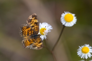 Pearl Crescent Butterfly on Daisy Fleabane