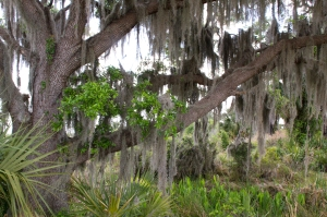 Spanish Moss Draped Oak Tree