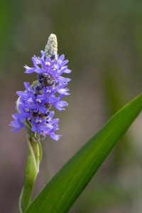 Pickerelweed in Pond
