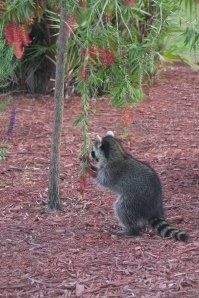 Baby Raccoon Running Bottlebrush Flowers Through Hands