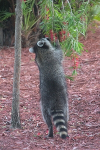 Baby Raccoon Licking Bottlebrush Flowers