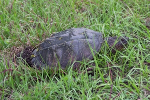 Florida Snapping Turtle Digging Hole for Eggs in Sand with Back Feet