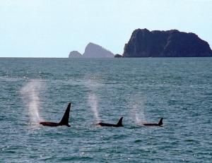Trio of Wild Orcas in Alaska