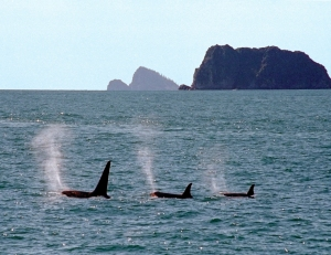 Trio of Wild Orcas in Alaska