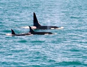 Wild Orca Pair