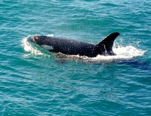 Close-up of Wild Orca