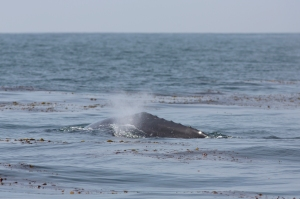 Back Bumps (knuckles) of Gray Whale