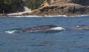 Gray Whale Close to Beach