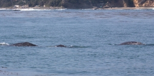 Group of Mother, Baby, and Adult Escort Whales