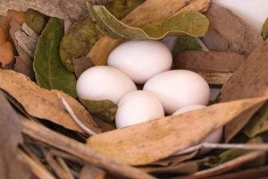 Five Purple Martin Eggs in Leaf-Lined Nest