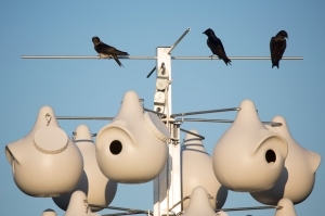 Purple Martins Resting Above Nesting Gourd Rack