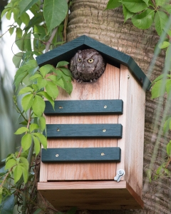 Eastern Screech Owl in Nest Box