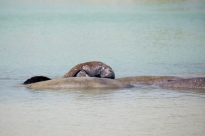 Mating Manatees (3 males and 1 female)