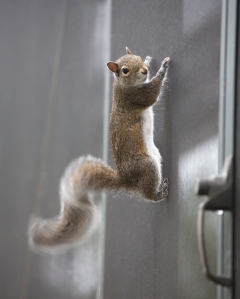 Squirrel on Porch Screen