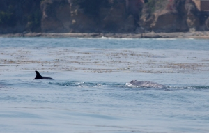 Dolphin (left) and Gray Whale (right) Playing Together