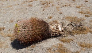 Barrel Cactus Surviving with Few Roots