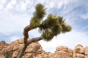 Flowering Joshua Tree