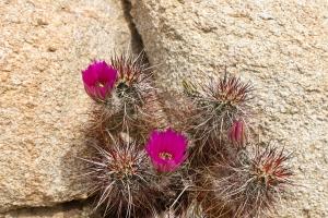 Strawberry Hedgehog Cactus