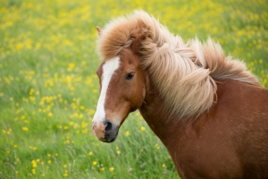 Thick Mane of Icelandic Horse