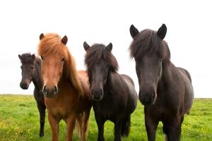 Four Icelandic Horses