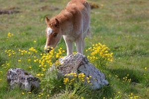 Baby Icelandic Horse and Buttercups